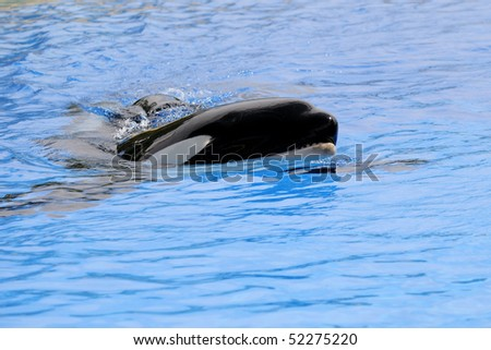 Killer whale in the water on a blue background - stock photo