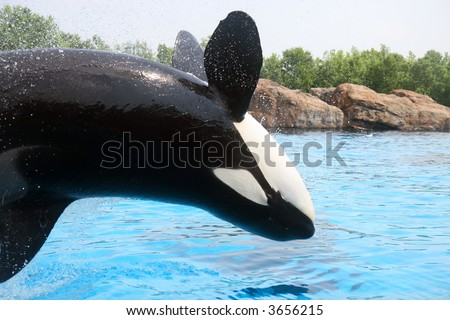 Killer whale jumping - stock photo