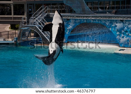 Killer Whale jumping in a pool - stock photo
