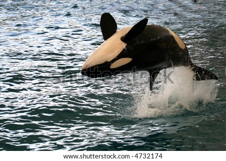 killer whale jumping on it's back over the water - stock photo