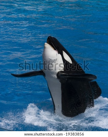 Killer Whale jumping out from water - stock photo