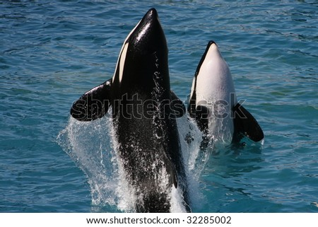 killer whale jumping out of water