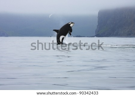 killer whale making high jump in the wild, Kamchatka, Russia - stock photo