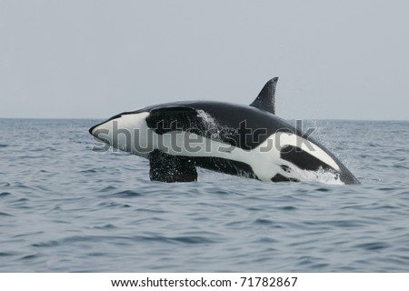 Killer whale male jumping in the wild - stock photo