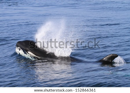Killer Whale (Orcinus orca) - stock photo