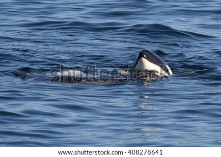Killer Whale - Orcinus Orca - stock photo