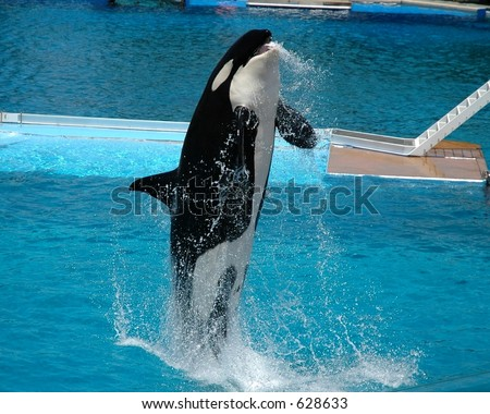 Killer whale performing stunt