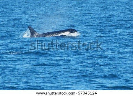 Killer whale swimming in the ocean - stock photo
