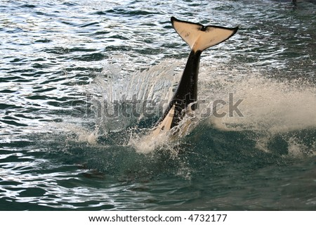 killer whale tail out of the water from a jump - stock photo