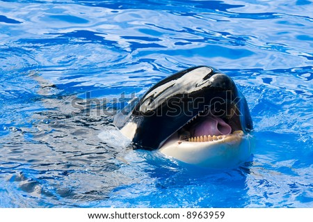 Killer Whale teasing - stock photo