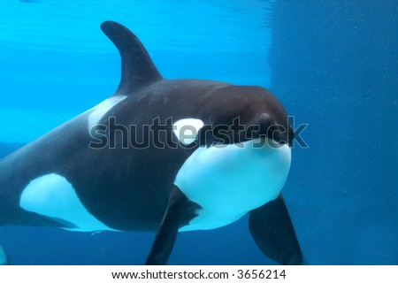Killer whale under water - stock photo