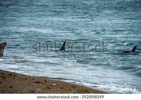 Killer whale while attacking a newborn sea lion on patagonia beach - stock photo
