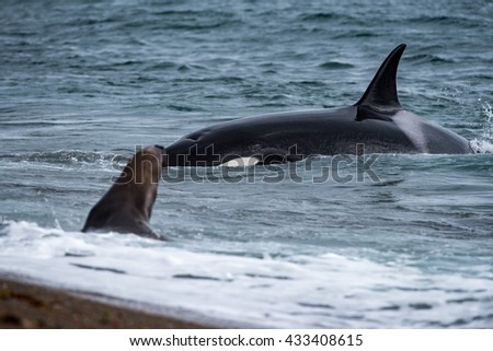 Killer whale while attacking a newborn sea lion on patagonia beach