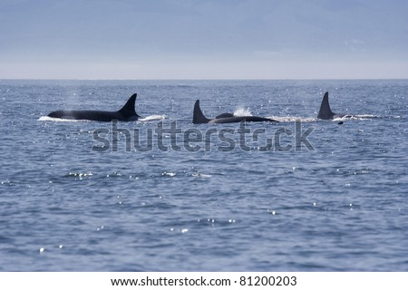 Killer Whales Blowing - Orcinus orca in front of Vancouver Island, British Columbia, Canada - stock photo
