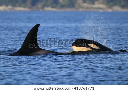 Killer Whales in Puget Sound, WA - stock photo