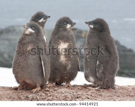 Kindergarten Adelie penguin chicks. - stock photo