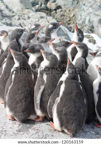Kindergarten gentoo penguin (Pygoscelis papua) chicks. - stock photo