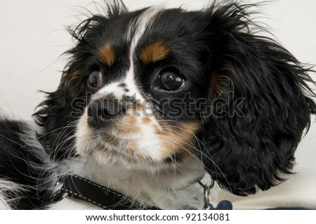 King Charles Cavalier - stock photo