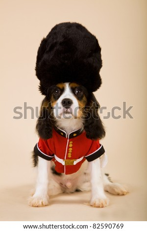 King Charles Cavalier spaniel puppy with palace guard uniform and hat - stock photo
