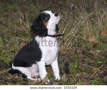King Charles Spaniel pedigree puppy - stock photo