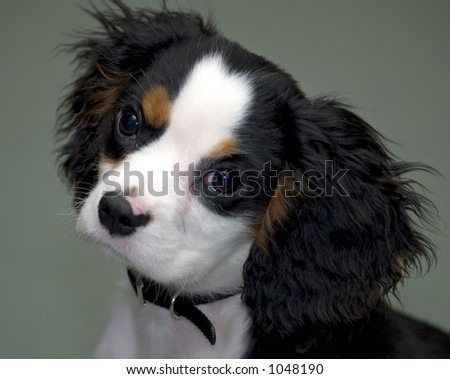 King Charles Spaniel Puppy - stock photo