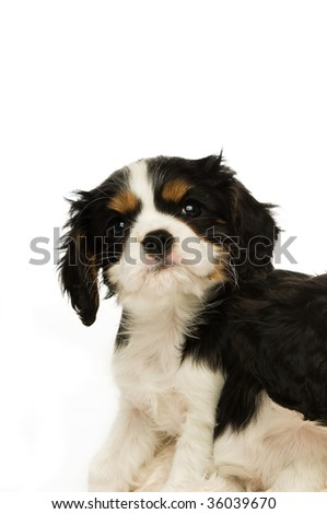 King Charles Spaniel puppy isolated on a white background