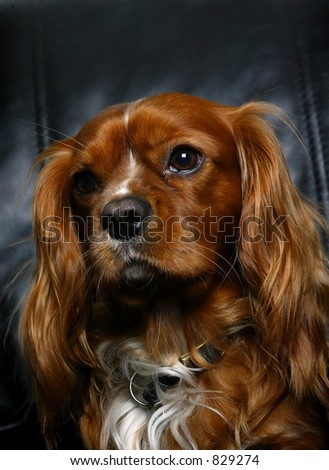 King Charles Spaniel sitting on chair - stock photo