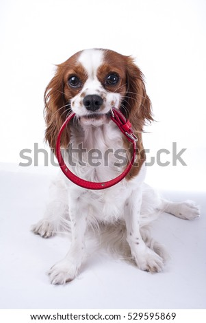 king charles spaniel with collar. Illustrate dog collar to avoid accidents. Before puppy lost use dog collar. King charles with collar.