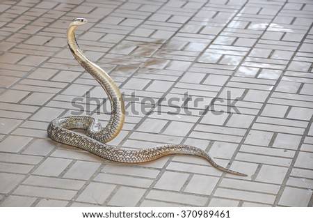 King cobra at the Snake Farm or Queen Saowapha Memorial Institute - stock photo