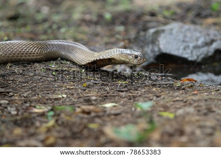 King cobra drink water - stock photo