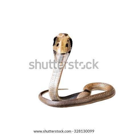 King cobra isolate on white background - stock photo
