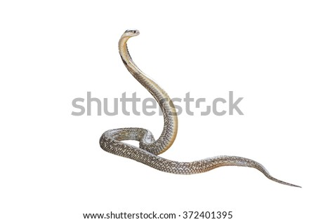 King cobra isolate on white background