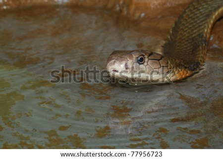 king cobra  on the water - stock photo