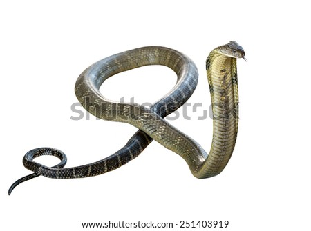 king cobra - Ophiophagus hannah, poisonous, white background. - stock photo