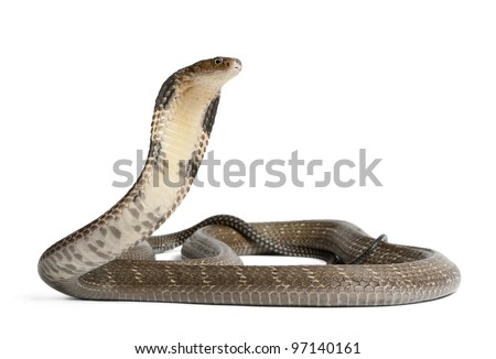king cobra - Ophiophagus hannah, poisonous, white background - stock photo