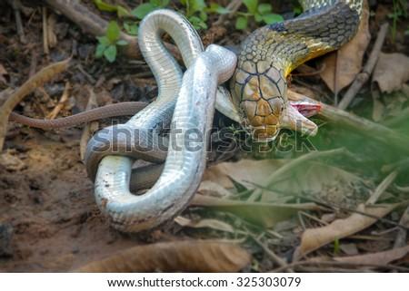 King Cobra snake,forage,Khon kaen,Thailand - stock photo