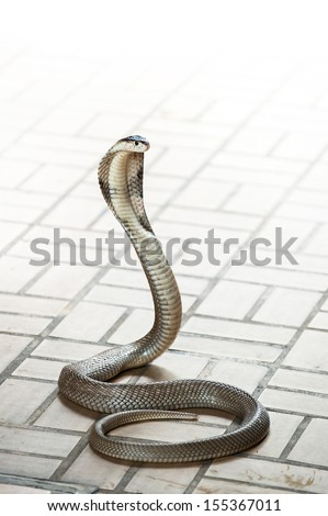King Cobra snake is the world's longest venomous snake in the Snake farm show bangkok thailand - stock photo