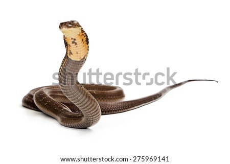King Cobra Snake Ready to Strike - stock photo