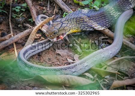 King Cobra snake while The bait,Khon kaen,Thailand - stock photo