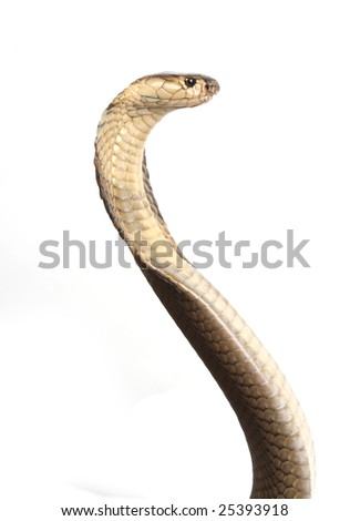 King cobra studio shot - stock photo