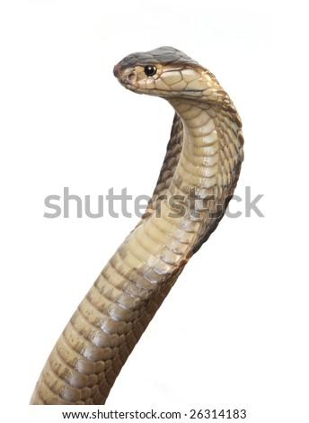 King cobra studio shot - stock photo