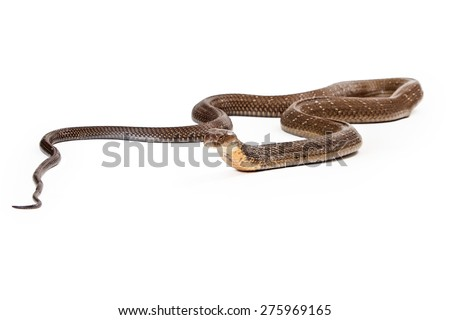 King cobra - The world's longest venomous snake. Commonly found in the forests of India and Southeast Asia. Isolated on a white background - stock photo
