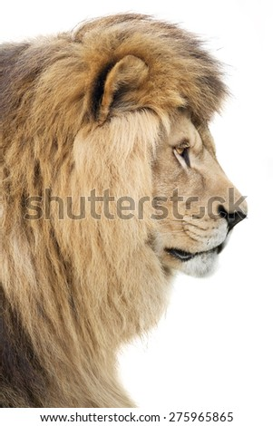 King of all beasts - stock photo