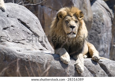 King of the beasts sitting on a rock - stock photo