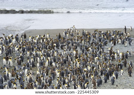 King Penguin (Aptenodytes patagonicus) colony on the beach at Macquarie Island, sub Antarctic waters of Australia. - stock photo