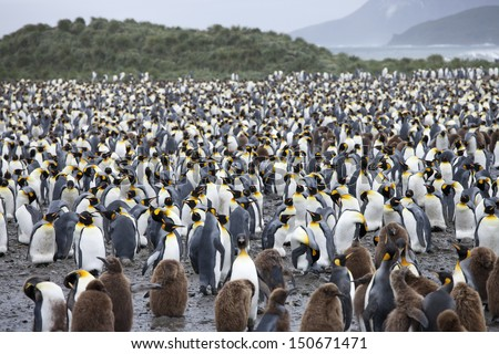 King Penguin (Aptenodytes patagonicus patagonicus) huge colony of adults and chicks on Salisbury Plain, South Georgia Island. - stock photo