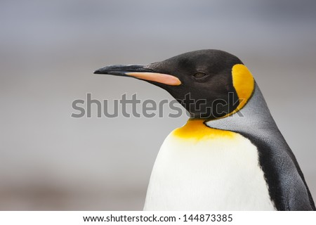 King Penguin (Aptenodytes patagonicus patagonicus) on Saunders Island in the Falklands. - stock photo