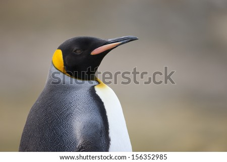King Penguin (Aptenodytes patagonicus patagonicus) on Saunders Island in the Falklands.