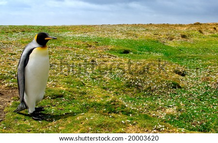 King Penguin at Volunteer Point, Falkland Islands - stock photo