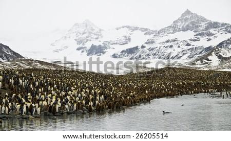 King penguin colony - South Georgia - stock photo